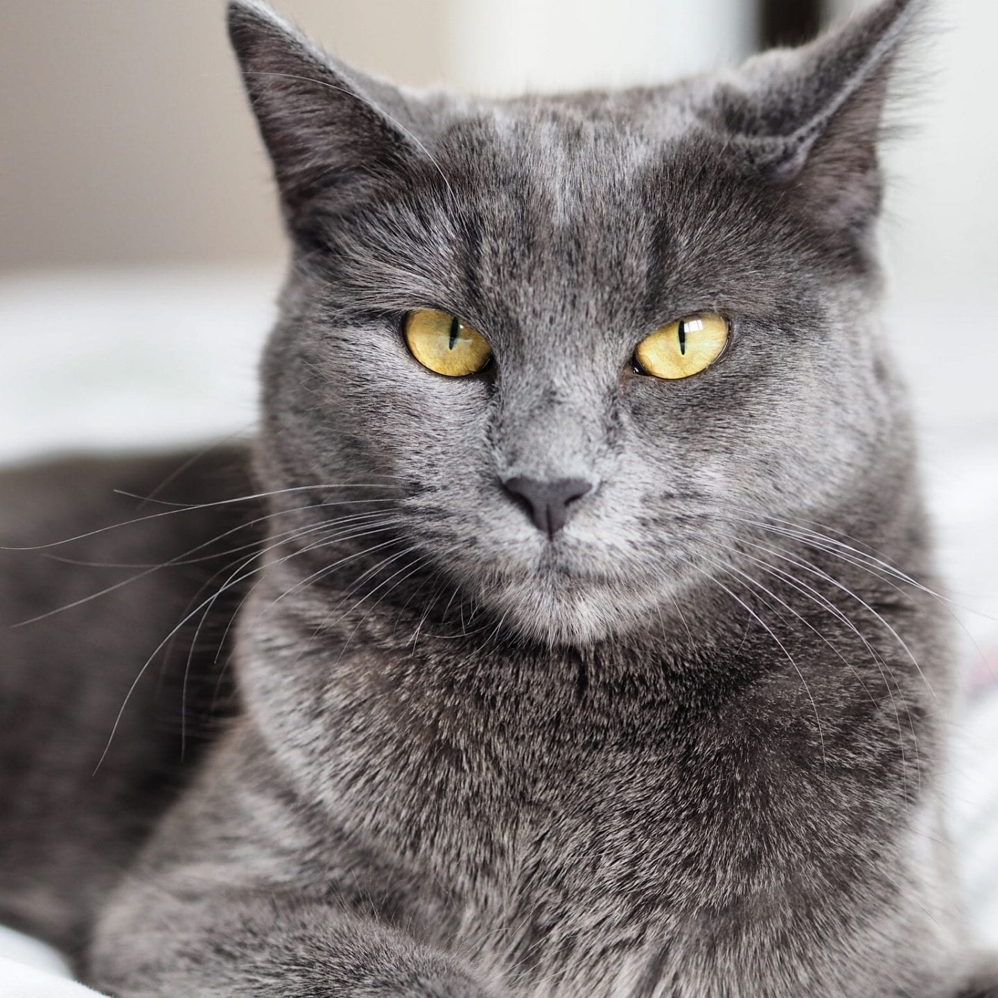 Grey Short Haired Cat
